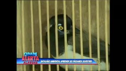 Batalhão de Polícia Ambiental apreendeu 80 pássaros silvestres