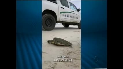 Tartarugas estão morrendo no litoral alagoano devido a quantidade de plástico