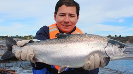 Salmonicultura no Chile - Produção