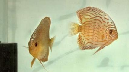 Acará-disco, o rei dos aquários de água doce