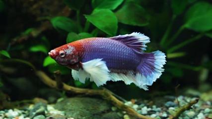 Betta splendens: o queridinho dos aquaristas