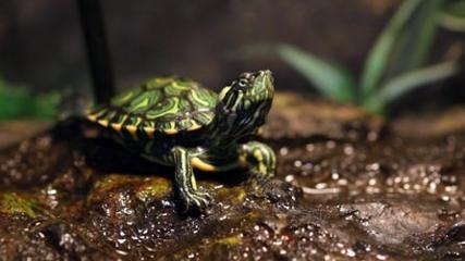 Aquário para tartarugas tigre d'água