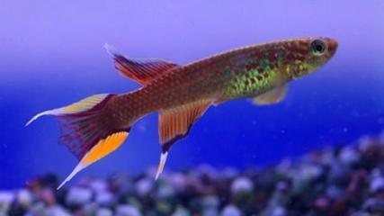 Cuidados especiais com os multicoloridos Killifishes