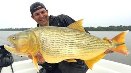 Os gigantes dourados das águas do rio Paraná!