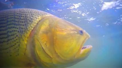 Piapara e dourado em águas Argentinas