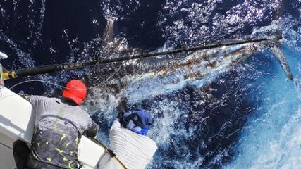 A desafiadora pesca de marlins-azuis