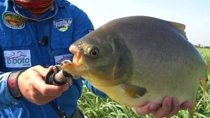 Pacu-Caranha do Sul-Mato-Grossense