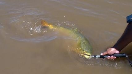Baitcasting para dourado em pesca desembarcada