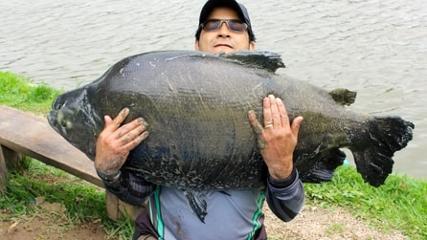 Os gigantes tambacus do Pesqueiro Taquari