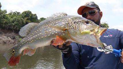 Muita briga com os tucunarés do rio Juma