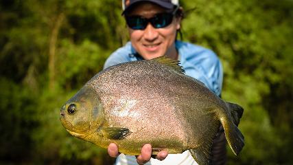 A esportiva pesca de pacus com iscas artificiais