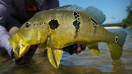Uma pesca desembarcada de tucunarés