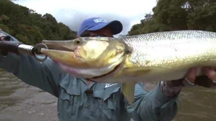 Bicuda e matrinxã, peixes de corredeira