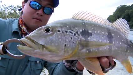Peixe de corredeira: bicuda, tucunaré e apapá