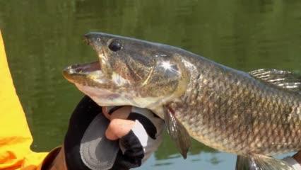 Pesca de traíra no rio Bararati