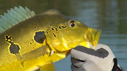 Tucunaré-amarelo em pesca de estratégia