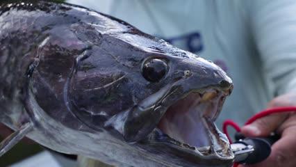 Pesca de trairões no Rio do Velho