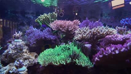 Corais em aquários marinhos