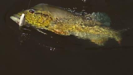 Grandes pescarias de tucunaré