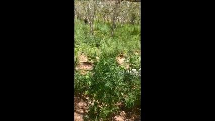 Polícia encontra plantação com cerca de 5 mil pés de maconha no Sertão