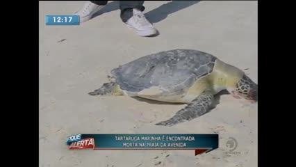 Tartaruga marinha foi encontrada morta na Praia da Avenida