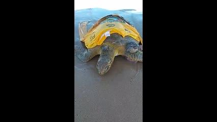 Tartaruga marinha é encontrada por banhista em Praia de Pajuçara
