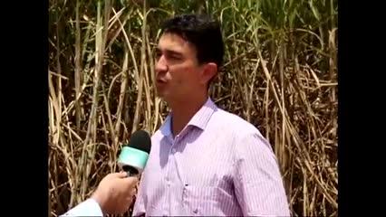 Usina Santo Antônio começa a produção de uma nova variedade de cana