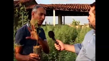 Produção de algarobeira ajuda a preservar a Caatinga alagoana