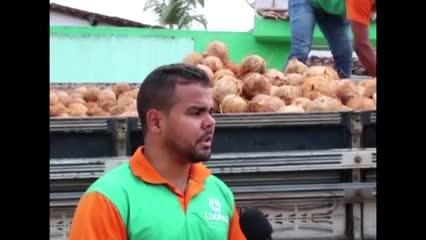 Produção de coco em Matriz de Camaragibe - Parte 2