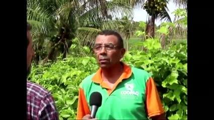 Produção de coco em Matriz de Camaragibe - Parte 3