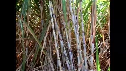 Plantador de cana mostra como funciona sistema de irrigação por gotejamento