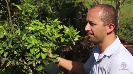 Produtores de laranja de Santana do Mundaú lutam para combater a mosca negra