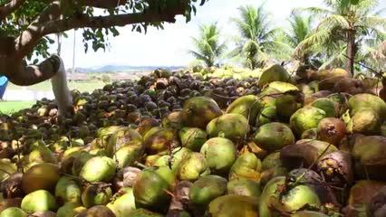 Produtores de coco pedem ajuda para superar crise