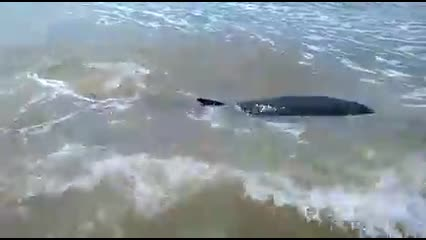 Após encalhar, filhote de baleia é resgatado em Feliz Deserto
