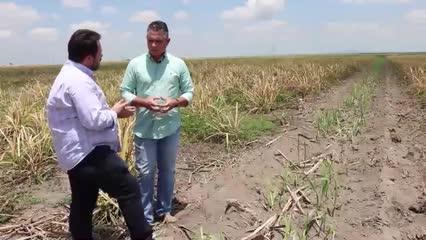 Usina Caeté vai aproveitar áreas de renovação de cana-de-açúcar para começar a produzir grãos