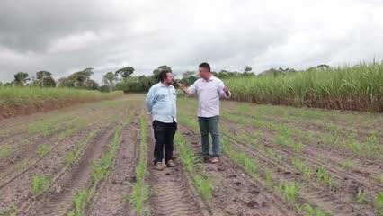 Plantio de milho em consórcio com cana-de-açúcar, no sistema de meiosi