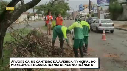 Árvore cai de canteiro da avenida principal do Murilópolis