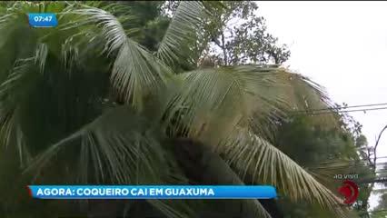 Um coqueiro caiu na AL-101 Norte, no bairro de Guaxuma